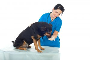 Veterinary Give Pill To Dog
