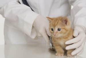 Veterinarian hands examining kitten