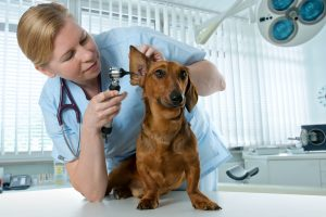 veterinarian doctor making check-up of a dachshund