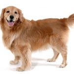 Golden Retriever Standing