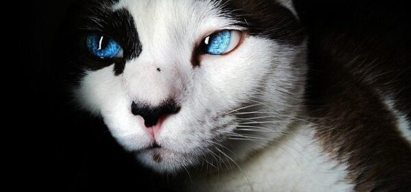 A Guide To Choosing Your New Siamese Cat Breed