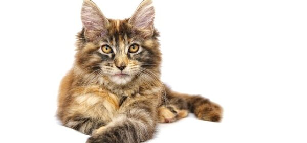 Everything You Need to Know About the Maine Coon Cat