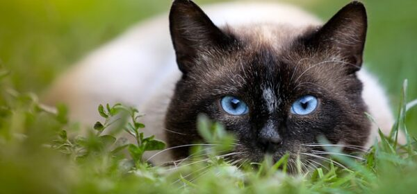 Is A Thai Or Siamese Cat Right For You?