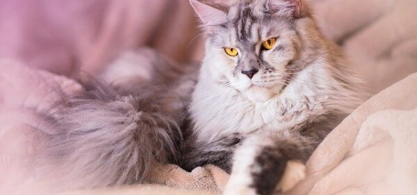What is a Maine Coon Cat? A brief history of this beautiful creature.