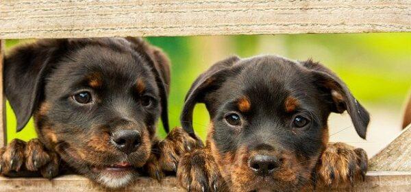 Finding a Great Australian Shepherd Puppy