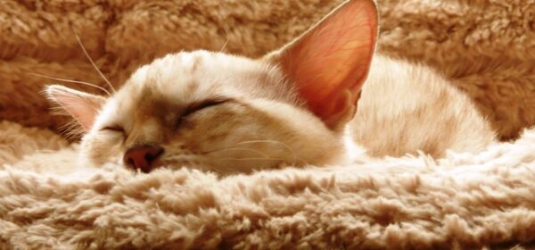 Tips for Buying Bengal Kittens